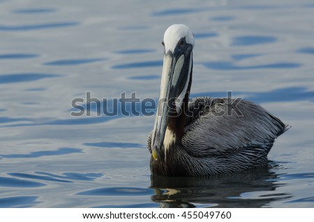 Brown Pelican (Pelecanus occidentalis), the National Bird of St. Kitts and Nevis - stock photo
