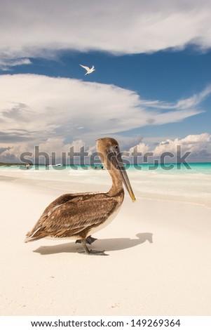 Brown pelican (Pelicanus occidentalis) - stock photo