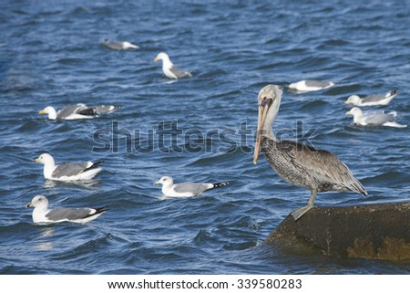 Brown Pelican perched on a concrete piling in the water with California Gulls in the water all around it