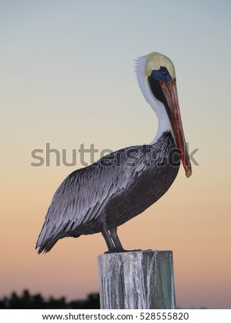 Brown Pelican Perched on a Piling at Dusk