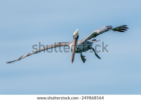 Brown Pelican Preparing to Dive and Fish near Naples, Florida 1 - stock photo
