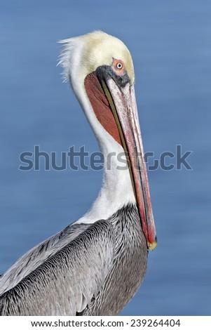 Brown Pelican - rare pacific race - stock photo