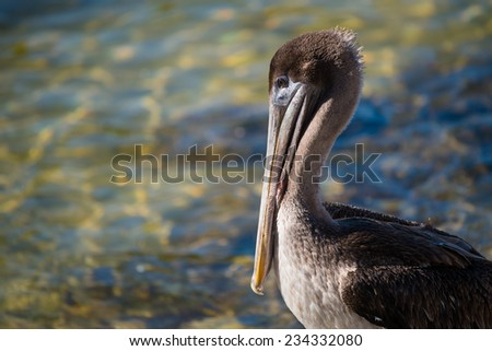 Brown pelican roosting on rock - stock photo