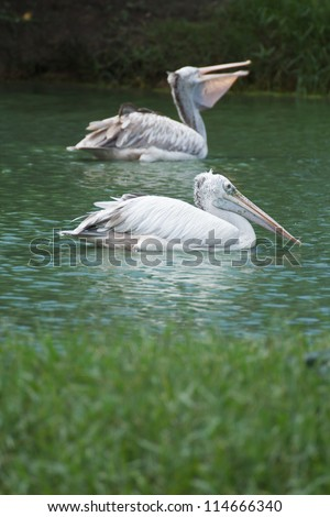 Brown pelican swimming in a lake herd - stock photo