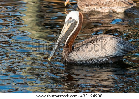 Brown pelican swimming in the Gulf of Mexico. - stock photo