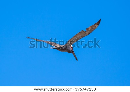 Brown Pelican with adult breeding plumage, Loreto, Baja California Sur, Mexico