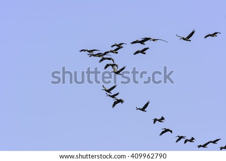 Brown pelicans (binomial name: Pelecanus occidentalis) follow the leader as they fly over Padre Island on a sunny afternoon along the Gulf Coast in Texas - stock photo