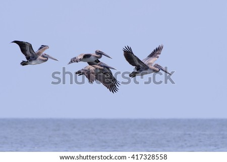 Brown Pelicans in Flight over Gulf of Mexico - stock photo