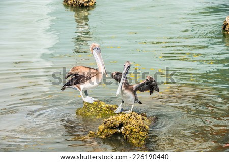 Brown Pelicans on Rocks - stock photo