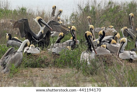 Brown Pelicans (Pelecanus occidentalis) breeding and nesting on small island along the coast of North Carolina Outer Banks, near abandoned village o Portsmouth, Cape Lookout National Seashore.