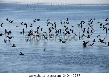 Brown pelicans ( Pelecanus occidentalis ), seagulls and cormorants taking flight on the Columbia River , Washington