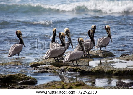 Brown pelicans (pelecanus occidentalis) sitting by the edge of the sea - stock photo