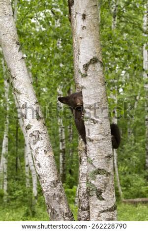Brown Phase Black Bear Cub Climbing Birch Tree - stock photo