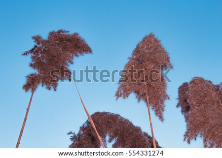 Brown Phragmites next to the River