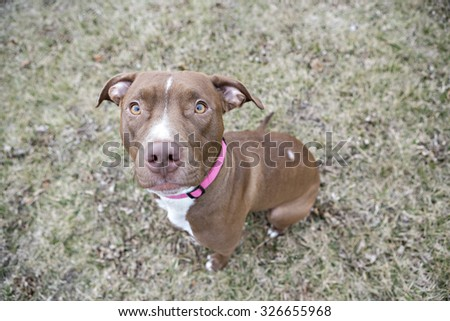 Brown pittbull looking up at the camera while sitting  - stock photo