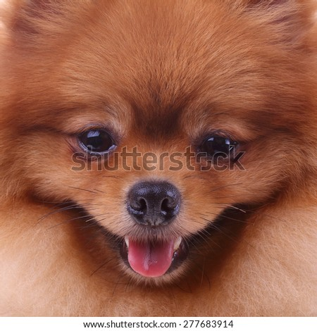 brown pomeranian dog, cute pet in home - stock photo