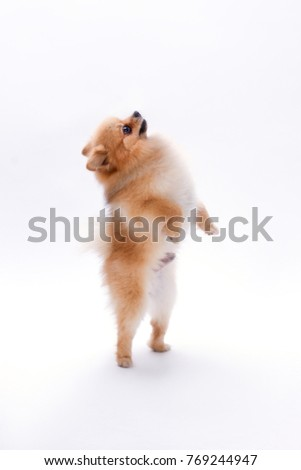 Brown pomeranian dog on white background. Cute little spitz standing on two paws over white background. Lovely furry pet.
