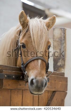 Brown pony horse indoor - stock photo