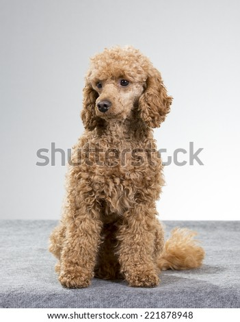 Brown poodle sitting in a studio and looking to the right. - stock photo
