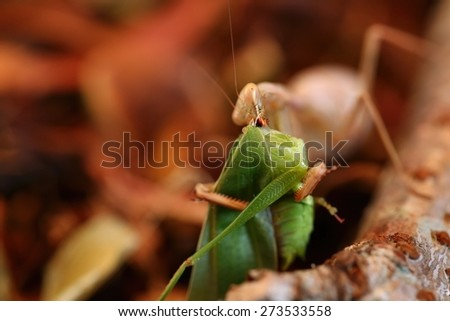 Brown Praying Mantis eating a Katydid on a bed of brown leaves and sticks  - stock photo