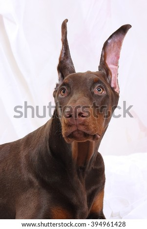 Brown puppy Doberman frightened looks