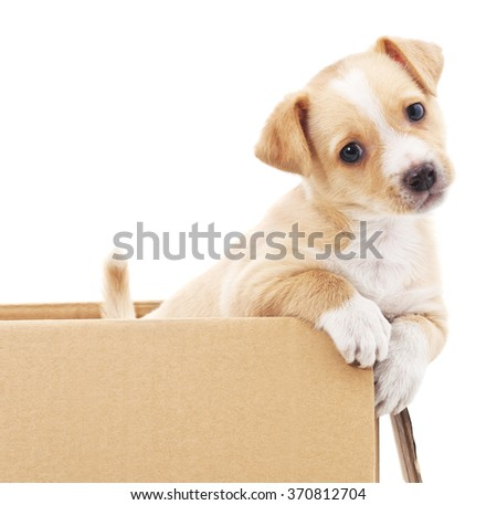 Brown puppy in a box isolated on white background. - stock photo