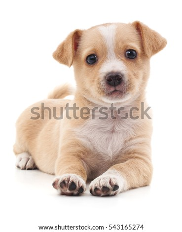 Brown puppy isolated on a white background.