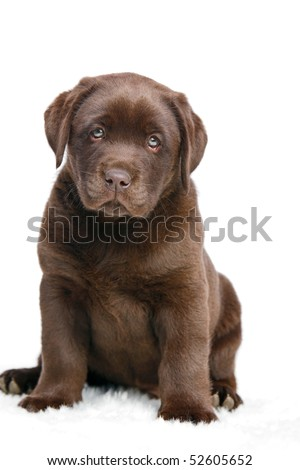 Brown puppy looking in camera sitting on white background