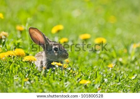 brown rabbit in grass closeup - stock photo