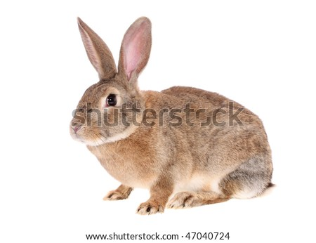 brown rabbit on a white background, is isolated