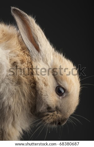 brown rabbit on gray background