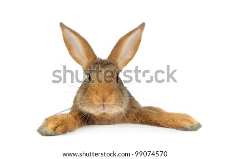 Brown Rabbit on white background - stock photo