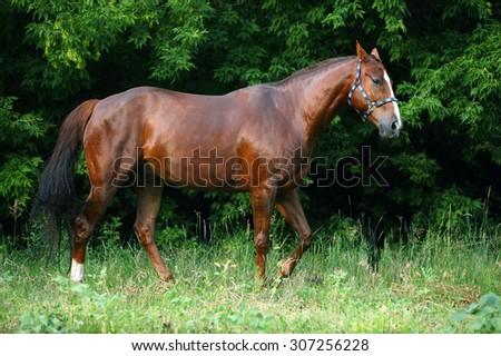 Brown racehorse in evening forest - stock photo