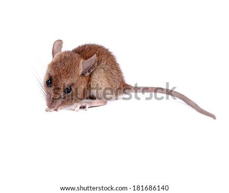 Brown rat, Rattus norvegicus, captive,pathogen carrier, on white background  - stock photo