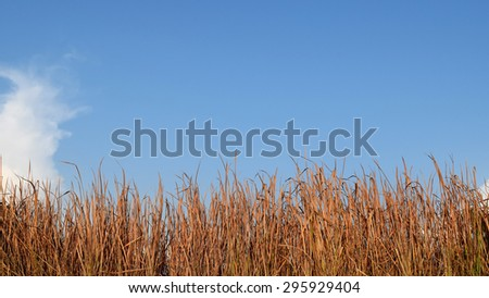 Brown red Grass dry and blue sky - stock photo