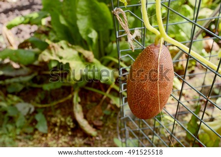 Brown Russian cucumber grows on a vine supported in a garden vegetable bed