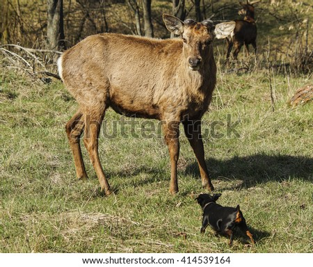 brown shaggy deer and black small dog are standing on the green grass in the forest