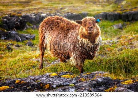 Brown sheep on a pasture in Iceland - stock photo