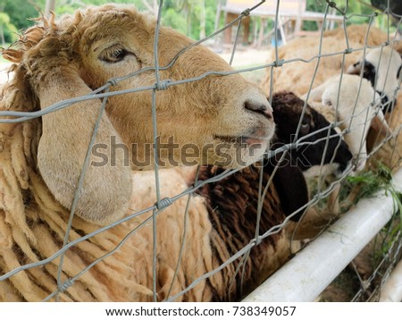 Brown sheep waiting for food behind the cage.