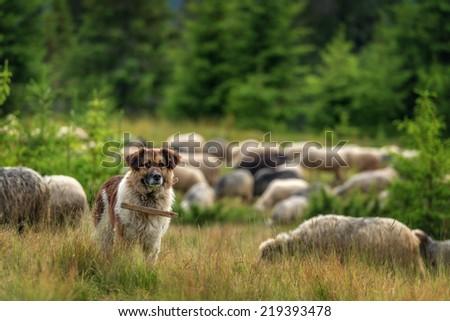 brown shepherd dog close up - stock photo