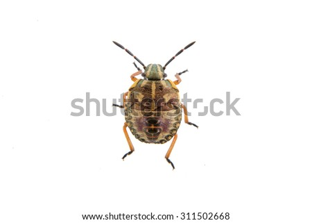 Brown shield bug isolated on a white background