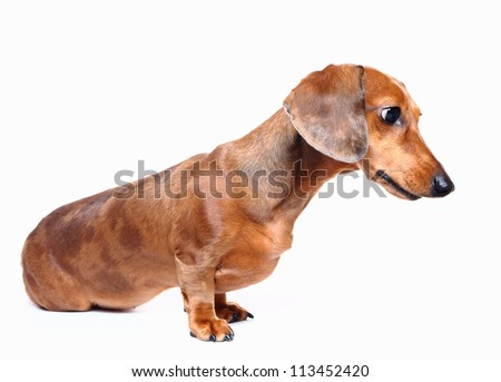 brown short hair dachshund dog - stock photo