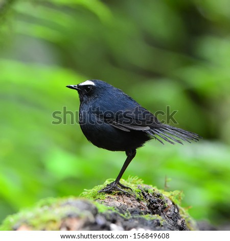 Brown shortwing bird, female White-browed Shortwing (Brachypteryx montana), standing on the log, breast profile - stock photo