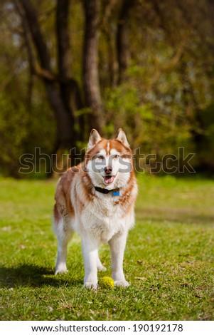brown siberian husky dog - stock photo