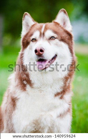 brown siberian husky dog portrait outdoors - stock photo