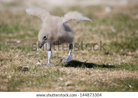 Brown Skua (Stercorarius antarcticus antarcticus), Falkland subspecies, downy chick stretching it's wings on Saunders Island in the Falklands. - stock photo