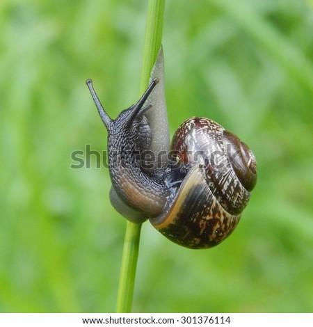 brown snail crawling on green grass closeup, rain drops on the grass - stock photo
