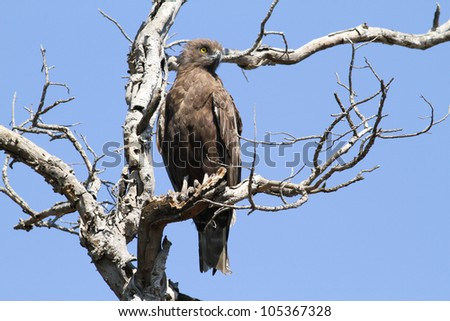 Brown Snake Eagle. - stock photo