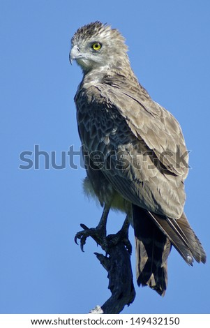 Brown snake eagle kruger national park south africa - stock photo