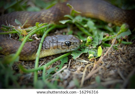 Brown snake sitting in grass - stock photo